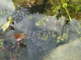 ....Des oeufs....de grenouilles dans mon bassin...........