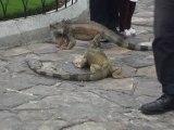 Des iguanes s'intimident dans le parc des iguanes (Parque Simon Bolivar) à Guayaquil