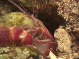 Scuba Diving New & Hot - Lobster Shrimp