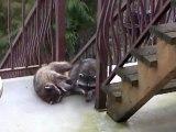 Raccoons Behaving Badly