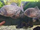 Piranha Skull aquarium avec tête de mort pour rire.