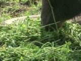 Egypte: la fièvre aphteuse inquiète les éleveurs