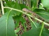 Premiers pas d'un bébé endormi ( caméléon ) Réunion
