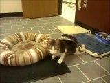 Corky le chat aux pattes retournés