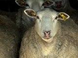 Bande Annonce - Mouton 2.0 - La puce à l'oreille