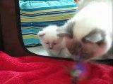 chatons Sacré de Birmanie de 23 jours