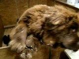 chiots Funny élevage de VALOYAN TERRE NEUVE MARRON BRONZE 01/05/2012