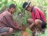 Agroforesterie à Madagascar : plantation dans des haies vives à Toliara