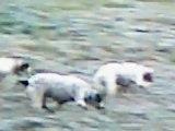 chasse lièvres ariégeois isère partie 5