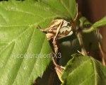 Extatosoma tiaratum mangeant des ronces