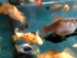 Aquarium - Molly Velifera, Guppy, Molly Ballon, Black Molly Pleine