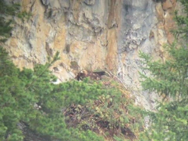 Aigle royal : vie de famille au nid, dans les Hautes-Alpes