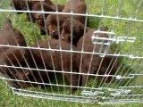 chiots Funny élevage de VALOYAN TERRE NEUVE MARRON BRONZE 04/06/2012