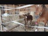 Foal jumping, poulain de 2 jours qui saute