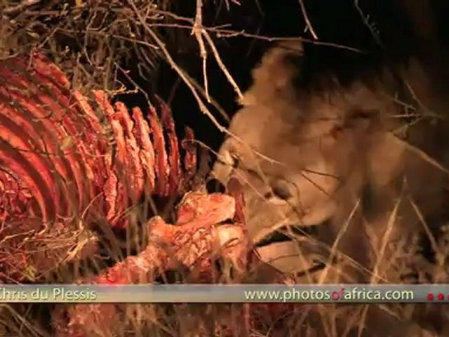 Lion at Zebra Carcass HD - South Africa Travel Channel 24 - Wildlife
