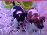 kisa bacak jack russel terrier yavrulari 0533 397 45 77