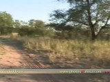 Lions morning walk HD at Tshukudu Hoedspruit - South Africa Travel Channel 24 - Wildlife