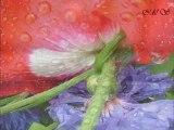 Amazing Nature Scenery Poppys