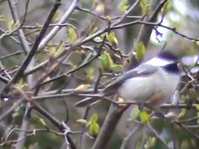 Chickadee singing, Fox, Robin, Geese spring morning