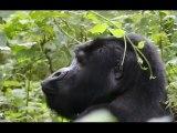 Gorilla nella Bwindi Impenetrable Forest (Uganda) - marzo 2012