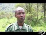 Ruanda: allarme per gorilla di montagna, una specie in pericolo. Bracconaggio e violenze tra ribelli i maggiori rischi