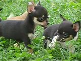 bebes males  chihuahua a coco