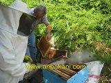 Kestane bal alımı, arıcılık videosu 24.06.2012