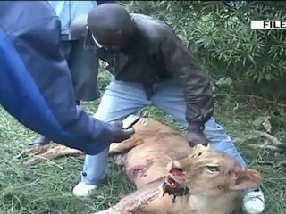 Villagers hospitalised after fighting lions in Kenya's Loitoktok area
