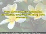 Purchasing Plumeria Cuttings Plants And Seedlings On eBay