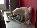 oliver mon akita inu qui s'amuse avec kenza mon carlin femelle