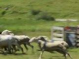 11-Concours chiens de Berger-Lac d'Estaing