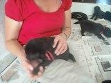 29 juillet 2012 : chiots de 18 jours (rouge tête la main de Marie-Paule)