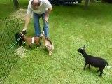 Buttermilk Sky, le chevreau joue avec ses amis chèvres