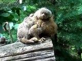 Ouistiti pygmée Beauval 2012 avi