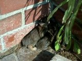 Cute Bunny Rabbits - We found bunny rabbits in our back yard one day. Cute animals. Wildlife.