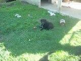 1er septembre 2012 (3) : chiots de 7 semaines et demi