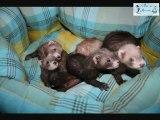 L élevage de furet au Pays des Merveilles clip 2012