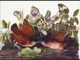 Audubon - Birds of America - Illustrations with Bird Sounds