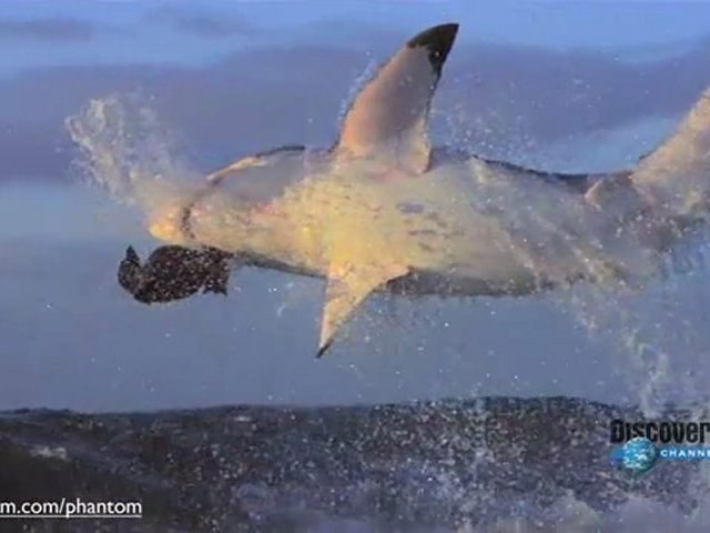 SHARK ATTACK HD : ATTAQUE DE REQUIN  BLANC