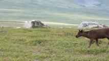 La Laponie Suédoise - rencontre avec les rennes