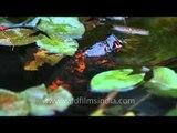 Koi carp  : The common carp (Cyprinus carpio)