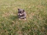 Chiots Chihuahua poil long bleus de 5 semaines