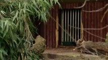 Un ours à lunettes est né au Zoo d'Anvers