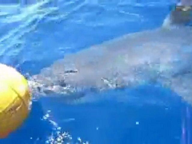 Face à face avec le grand requin blanc