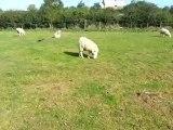 mouton né avec la tête à l'envers
