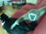 Chat vraiment trés patient avec un jeune singe