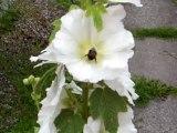 16. juli 2012 001 Flittig brombasse en dejlig sommerdag
