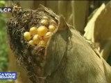 Reportages : OGM : les conclusions de Gilles-Eric Séralini contestées