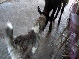 Norman the Cow, Bernard the Dog - odd playmates