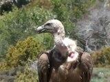 Espagne Catalogne Vautours fauves et vautour percnoptère